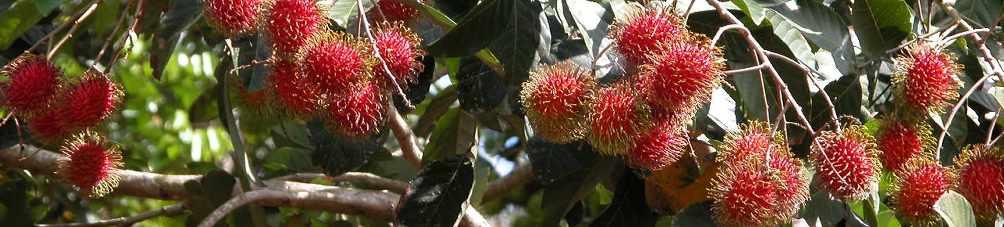 RAMBUTAN READY TO PICK